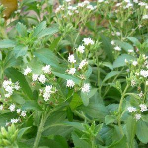 Stevia, la planta dulce