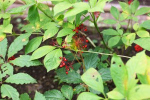 El ginseng, sus propiedades y beneficios